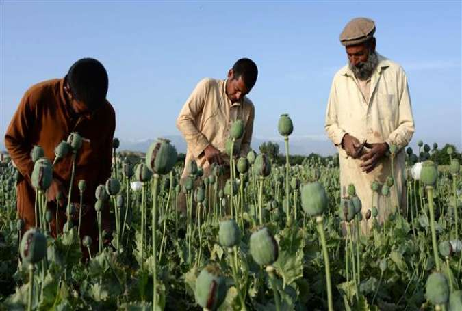 Afghan farmers harvest opium sap from a poppy field in Surkh Rod District in the eastern province of Nangarhar, May 5, 2015.
